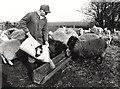 TF4008 : Feeding the sheep - Seadyke Farm, Wisbech St Mary by The Humphrey family archive