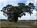TL1487 : Kenny's Oak near Caldecote by Richard Humphrey
