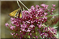 TR3557 : Essex Skipper (Thymelicus lineola) on Red Valerian (Centranthus ruber), Sandwich Bay Bird Observatory by Mike Pennington