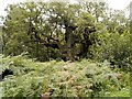 SK6267 : Sherwood Forest, Approaching the Major Oak by David Dixon