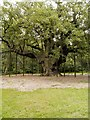 SK6267 : The Major Oak, Sherwood Forest by David Dixon