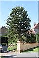 SK9856 : Monkey Puzzle tree, Sleaford Road, Wellingore by J.Hannan-Briggs
