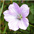 NS9971 : Pencilled Cranesbill (Geranium versicolor)? by Anne Burgess