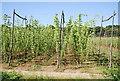 TQ7423 : Hop field by N Chadwick