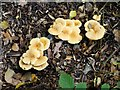 SP9408 : False Chanterelles (Hygrophoropsis aurantiaca) by Rob Farrow