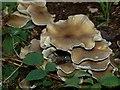 SP9308 : Unidentified fungus in Roundhill Wood : Week 41
