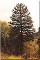 TF3684 : Monkey Puzzle tree on A157 near Legbourne by J.Hannan-Briggs
