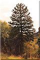 TF3684 : Monkey Puzzle tree on A157 near Legbourne by J.Hannan-Briggs