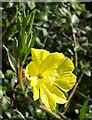 SX9878 : Evening Primrose, Dawlish Warren : Week 41