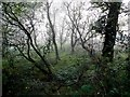 H2778 : Woodland, Bollock Park by Kenneth  Allen