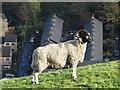SE0411 : Blackface sheep above Marsden : Week 45