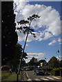 TQ4775 : Leaning pine tree, Danson Park by Stephen Craven