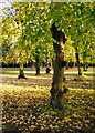 TQ2177 : Lime trees in November, Chiswick House : Week 47