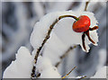 HP6208 : Snow on Rosa rugosa, Baltasound : Week 49