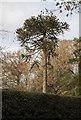 TQ7618 : Monkey Puzzle Tree, Whatlington Road by Julian P Guffogg