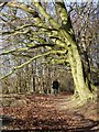 SP9513 : Ridgeway beneath beeches, Aldbury Nowers by Rob Farrow