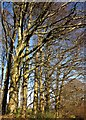 SX8855 : Beech trees near Greenway by Derek Harper