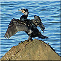 TA0489 : Cormorant drying out by Pauline Eccles