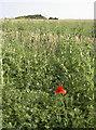 ST6163 : A lone poppy by Neil Owen