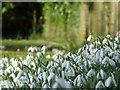 SP9107 : Snowdrops (Galanthus nivalis), St Leonards by Rob Farrow