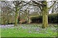 SD8502 : Crocuses, Boggart Hole Clough by David Dixon