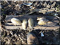 TF3601 : Fresh water mussels on the edge of Morton's Leam - The Nene Washes by Richard Humphrey