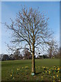 TM1645 : Horse Chestnut tree in Christchurch Park by Hamish Griffin