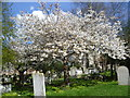 TQ6573 : Cherry blossom in Milton Churchyard by Marathon