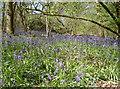 ST6464 : Park Copse bluebells by Neil Owen