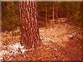 SU8968 : Fake snow sprayed ground & trees, Bracknell Forest by Phillip Williams