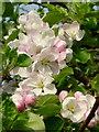 SO6637 : Apple blossom : Week 17