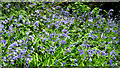 J4078 : Bluebells. Glenlyon, Holywood by Albert Bridge