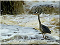 H4672 : Heron, Lovers Retreat, Omagh : Week 19