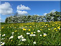 TL1197 : Buttercups, daisies and hawthorn blossom by Richard Humphrey