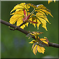 HP6209 : Newly emerged sycamore leaves, Halligarth, Baltasound : Week 19