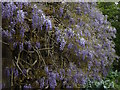 SX0471 : Wisteria blooms at Pencarrow House by Rod Allday