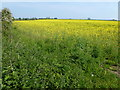 TL4678 : Field of rapeseed near Witcham Toll by Richard Humphrey