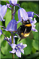 HP6208 : White-tailed Bumblebee (Bombus lucorum), Baltasound : Week 20