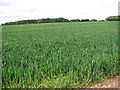 TM3387 : Wheat crop field on the former Flixton airfield by Evelyn Simak