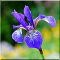 SO6424 : Blue Iris : Week 20