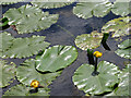 SE8675 : Yellow water lilies by Pauline E