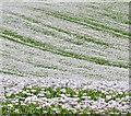 SU6485 : Poppy crop near Ipsden, Oxfordshire by Edmund Shaw