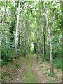 SX9684 : Woodland track with birches by Stephen Craven