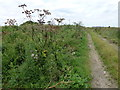TL3189 : Hogweed on Broadall's Drove by Richard Humphrey