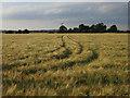 TL3546 : Ripening barley by Hugh Venables