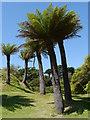 NX0942 : Tree Ferns : Week 28