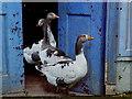 C9440 : Geese, Bushmills : Week 31
