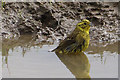 SE8391 : Yellowhammer taking a bath by Pauline E