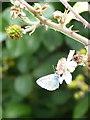 SW7828 : Holly Blue butterfly (Celastrina argiolus) by Rod Allday