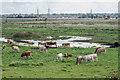 TL5567 : Cows Beside Hightown Drove by Kim Fyson